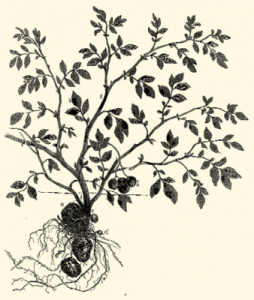 Illustration of potato plant
